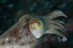 BD-130405-Tulamben-0194-Sepia-latimanus.-Quoy---Gaimard.-1832-[Broadclub-cuttlefish].jpg